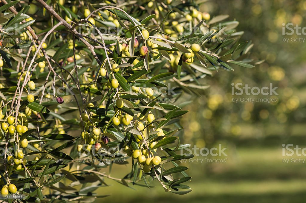 olive branch with ripening green olives stock photo