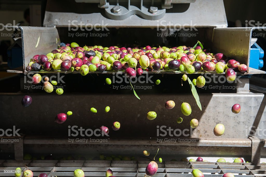 Olive cleaning stock photo