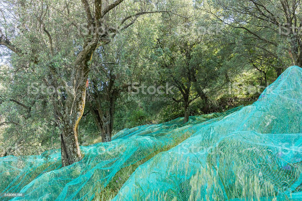Olive cultivation stock photo