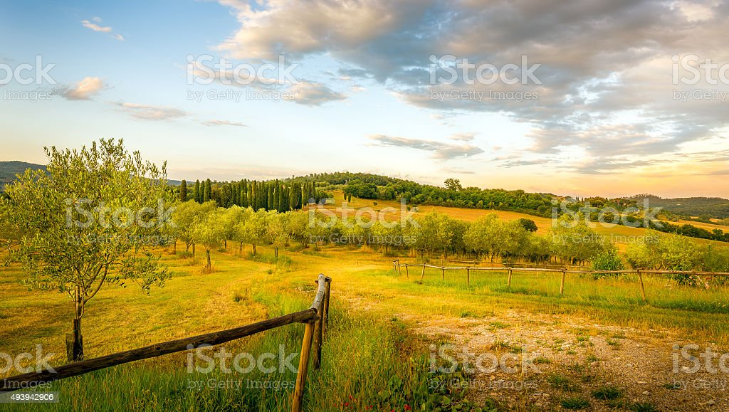 Olive field in Tuscany stock photo