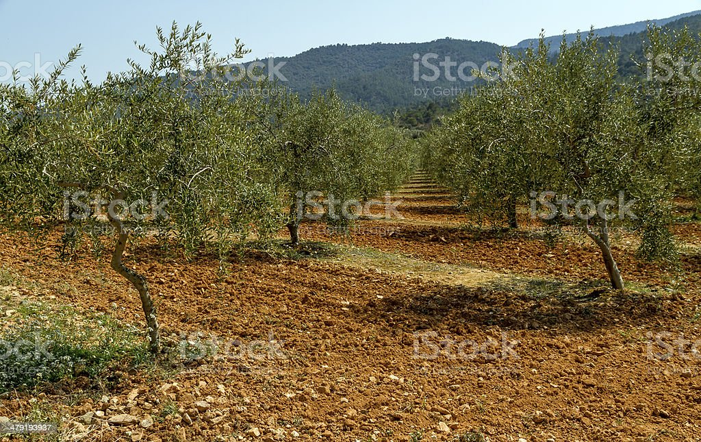 olive field royalty-free stock photo