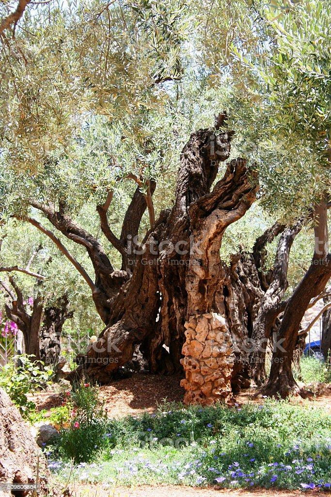 Olive, Gethsemane garden in Jerusalem stock photo