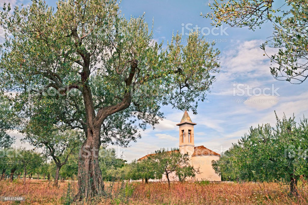olive groove in Abruzzo, Italy stock photo