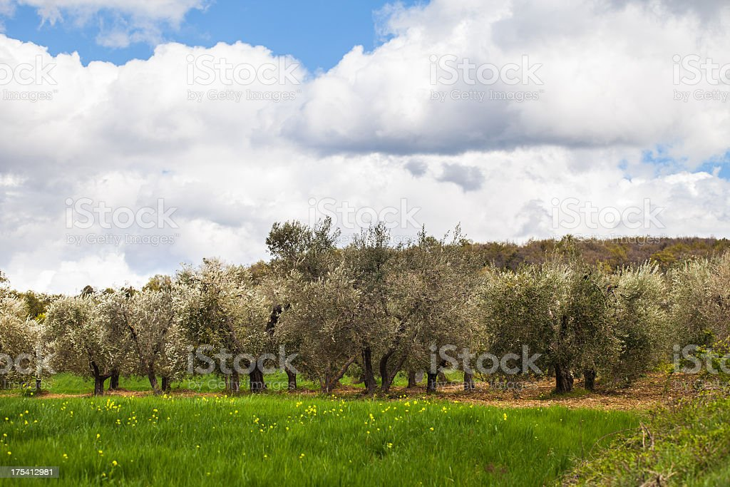 Olive groove Trees royalty-free stock photo