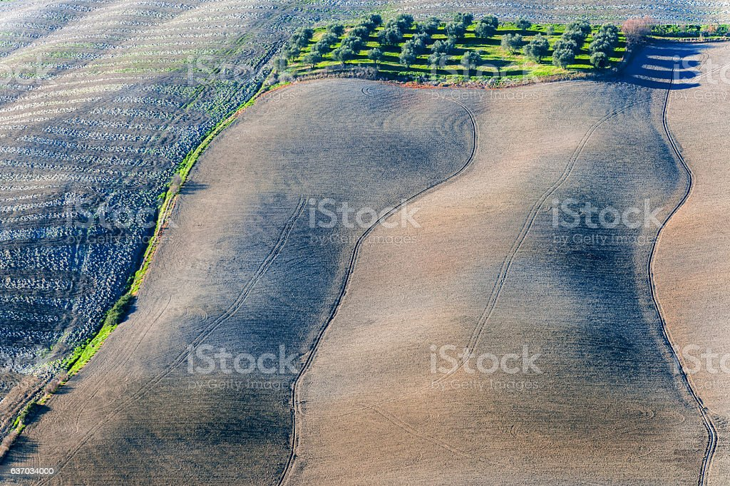 Olive grove between cereals and grasses,Asciano,Tuscany,Italy stock photo