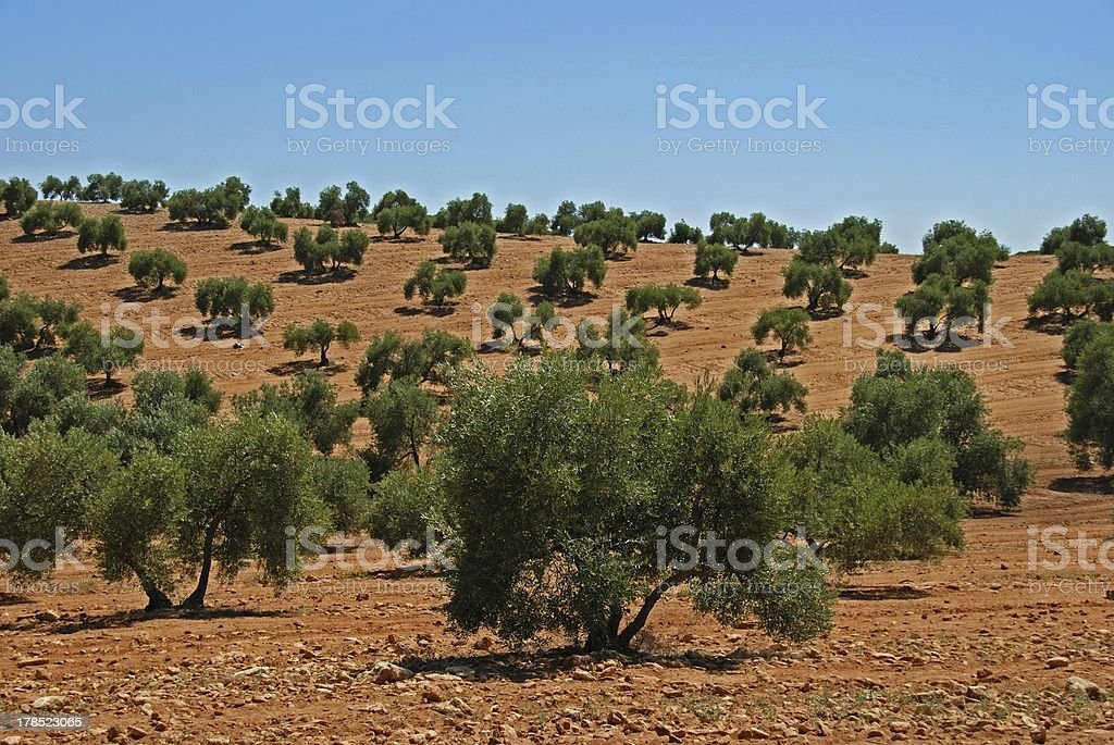Olive grove, Bornos, Andalusia, Spain. royalty-free stock photo