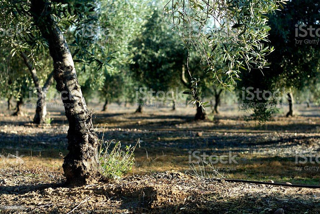 Olive Grove in La Campana stock photo