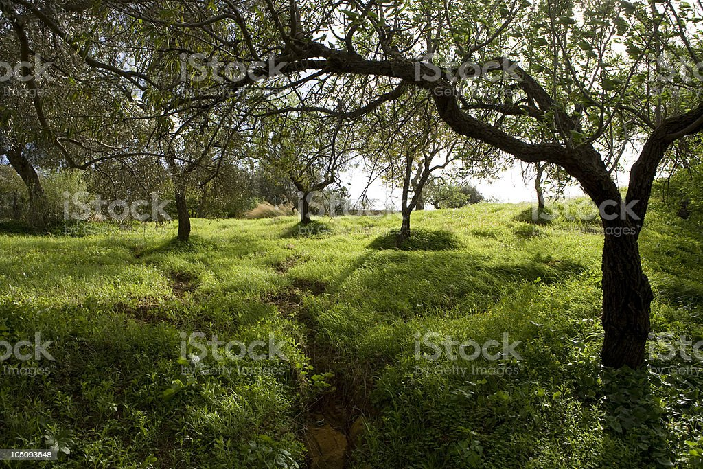 Olive grove in Sicily royalty-free stock photo