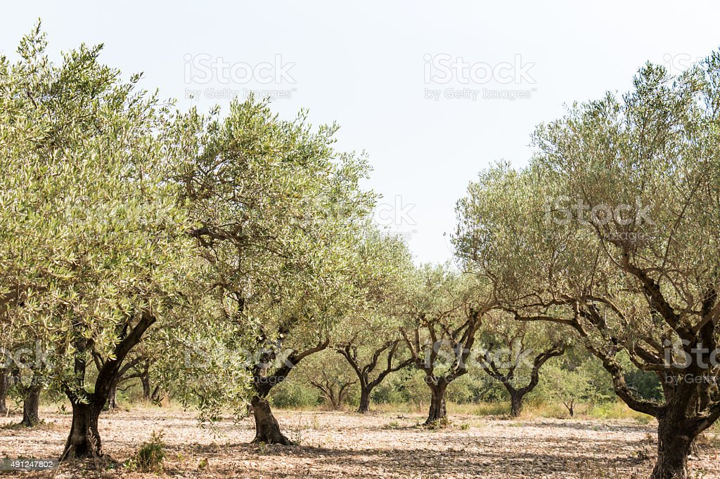 Olive grove in sunny southern Europe stock photo