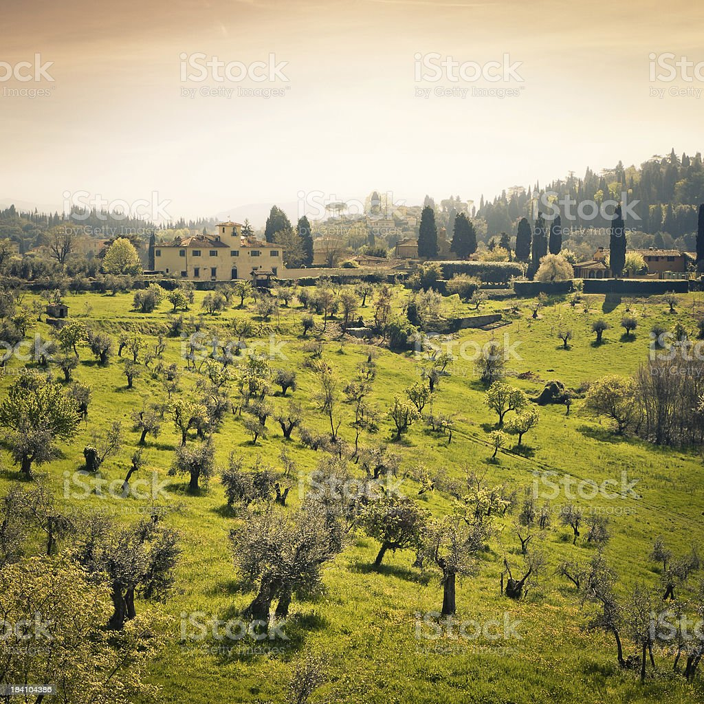 Olive Grove in Tuscan Countryside near Firenze, Italy stock photo