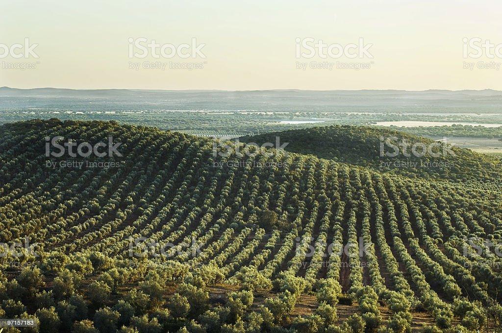 Olive grove landscape in Alentejo stock photo