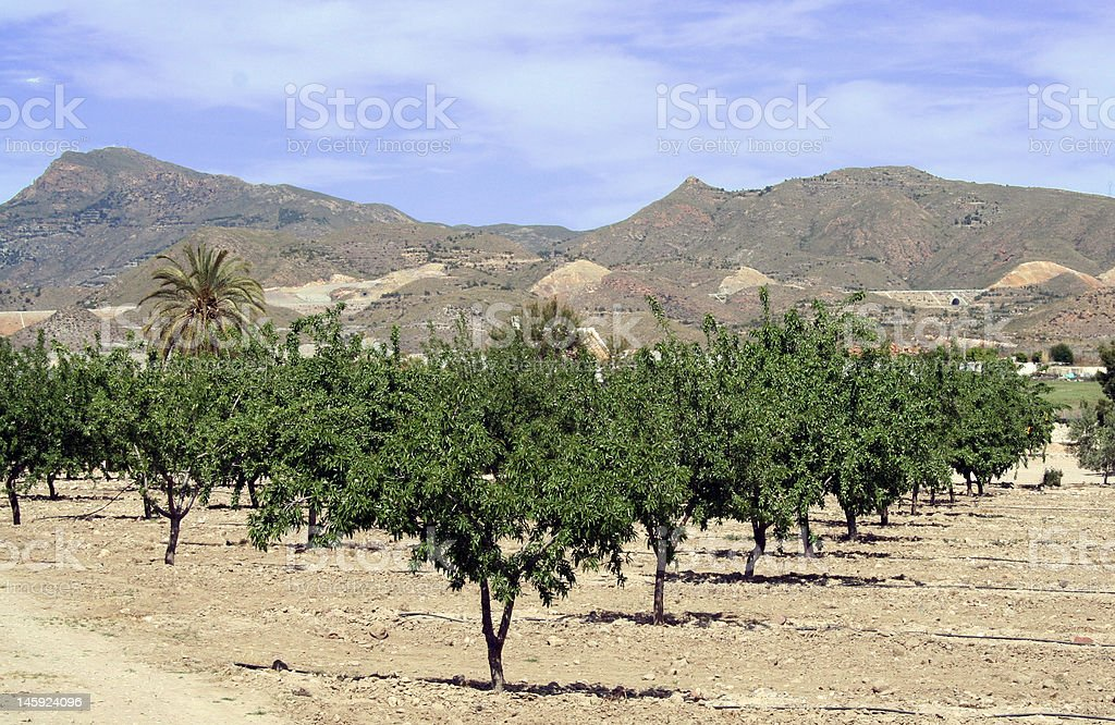 olive grove Murcia royalty-free stock photo