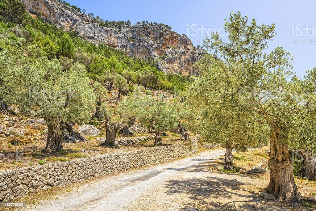 Olive grove on Puig d'Alaró / Majorca stock photo