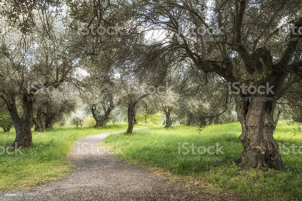 Olive grove with footpath in April, Rome Italy royalty-free stock photo