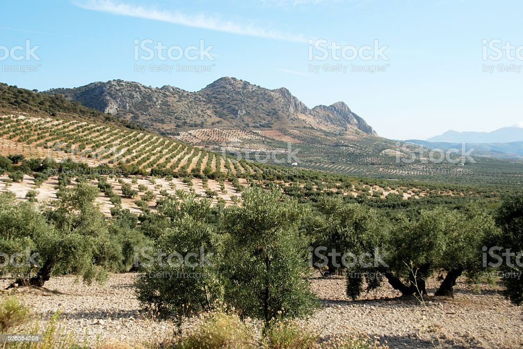 Olive groves and mountains, Andalusia. stock photo