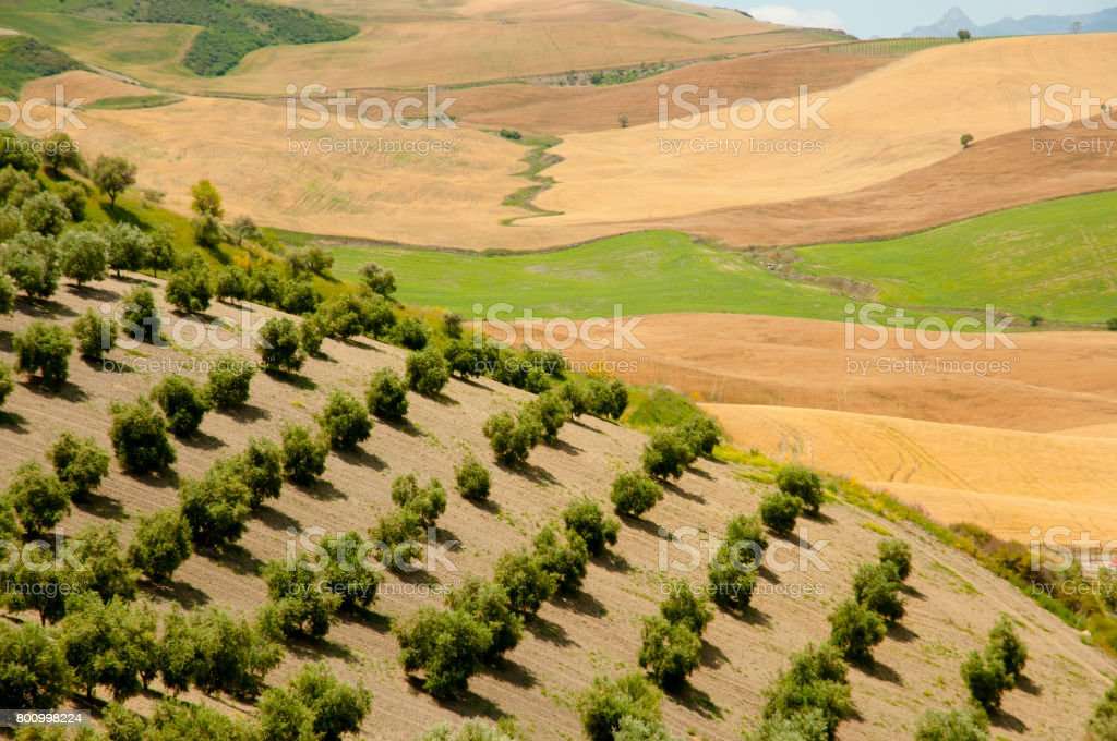 Olive Groves - Malaga - Spain stock photo