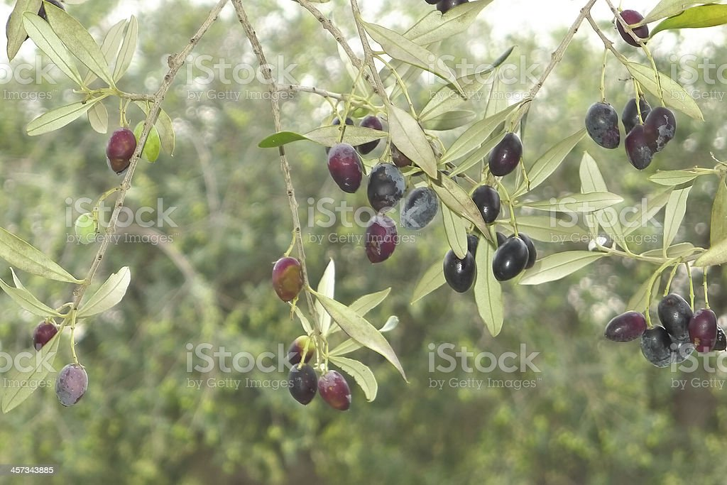 Olive growing . stock photo
