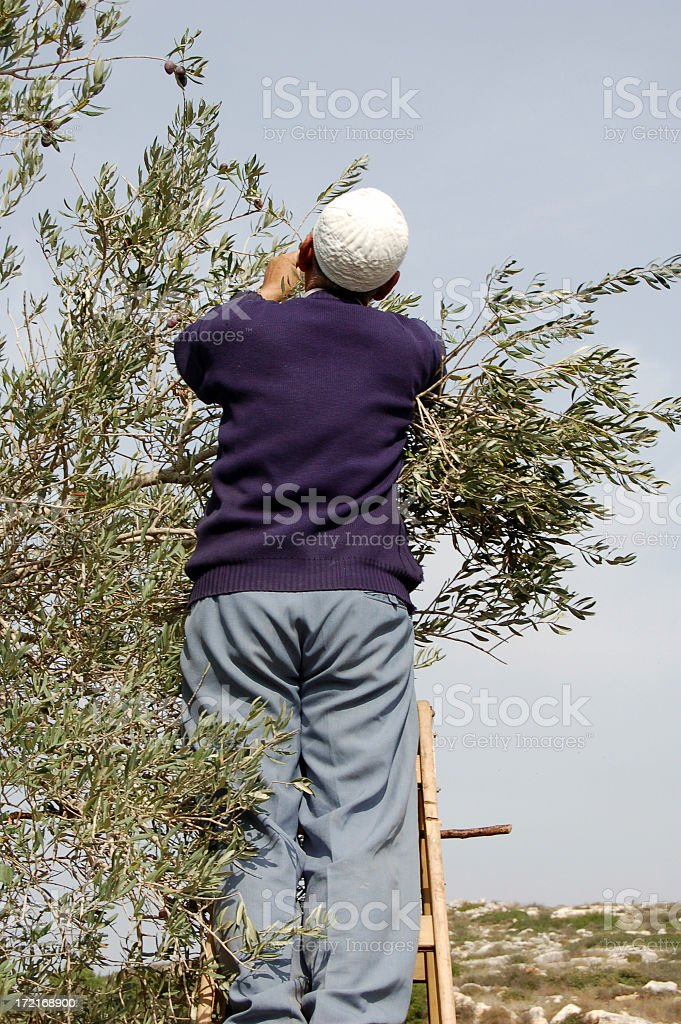 Olive Harvest royalty-free stock photo