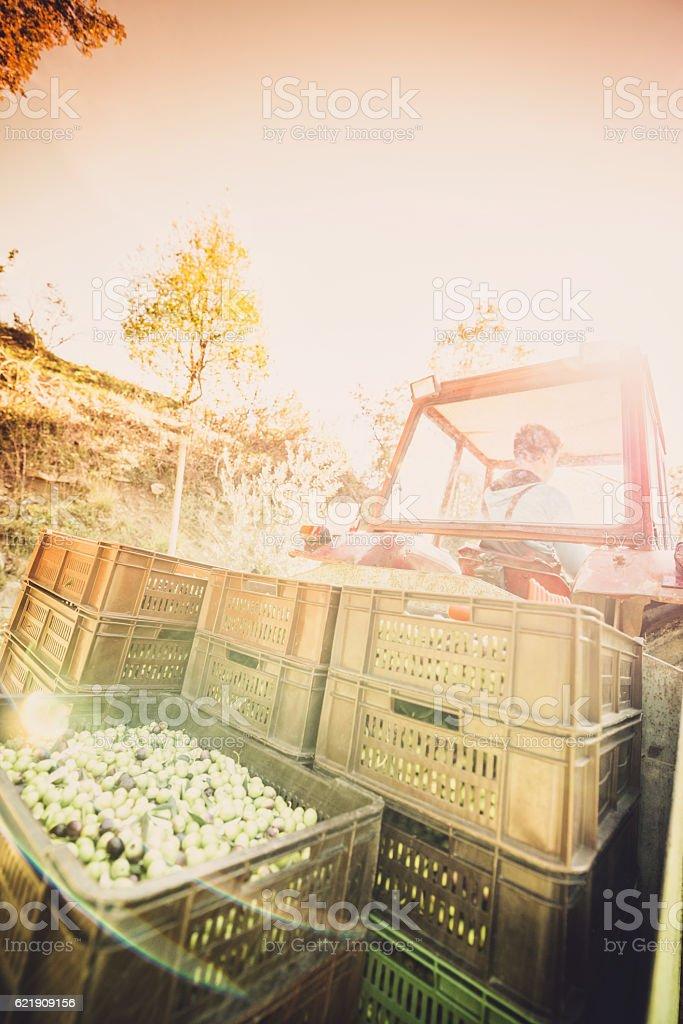 olive harvest stock photo