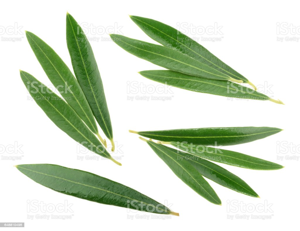 Olive leaves isolated on white, without shadow stock photo