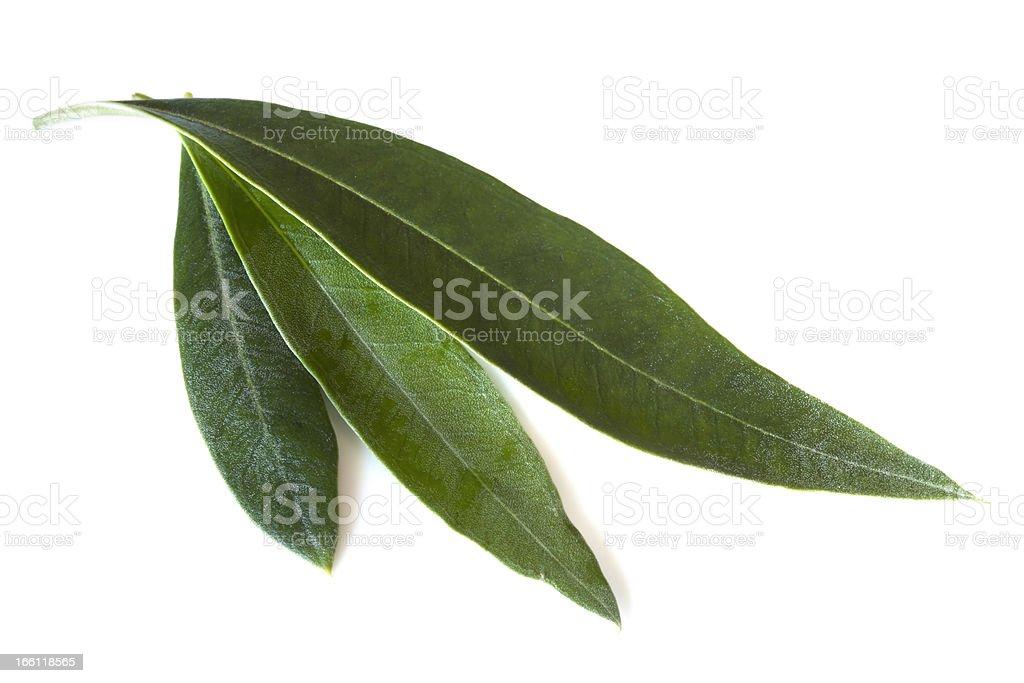 Olive Leaves stock photo