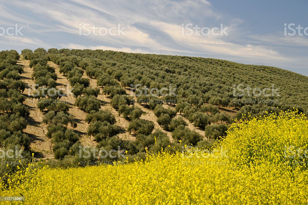Olive orchard and oilsed rape field , Andalucia,Spain royalty-free stock photo
