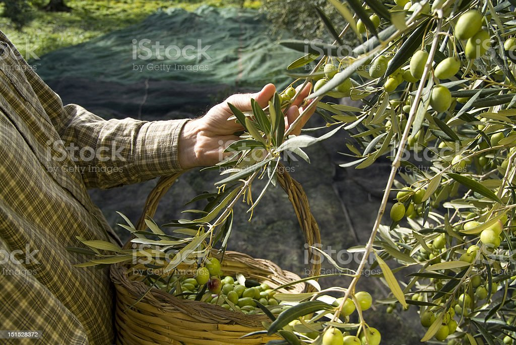 olive picking near Bisceglie (BA) Italy stock photo