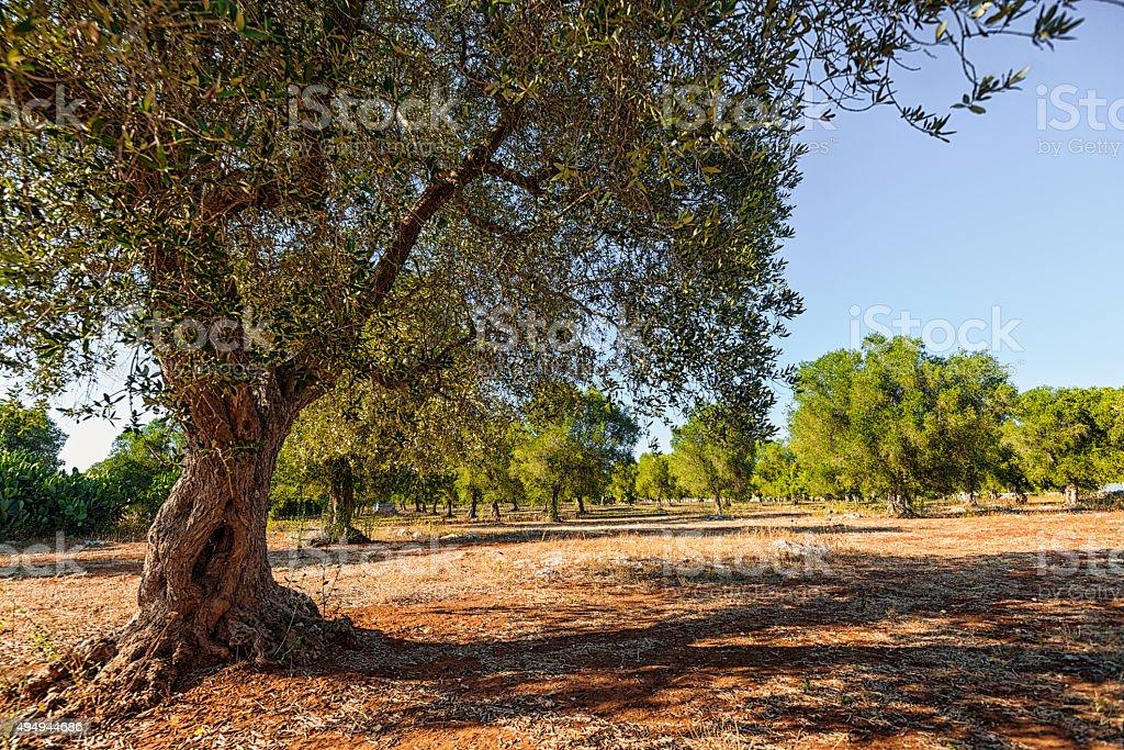 Olive plantation in South Italy, Puglia. stock photo