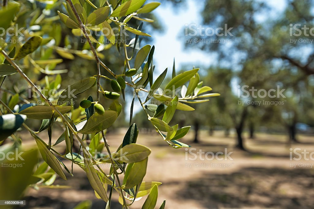 Olive plantation in South Italy, Puglia. stock photo