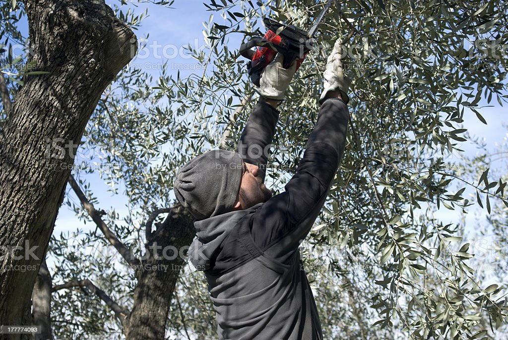Olive pruning royalty-free stock photo