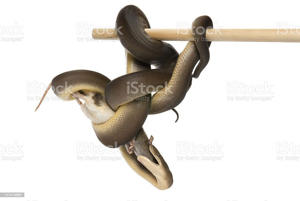 Olive python, Liasis olivaceus, eating a rat on white background stock photo
