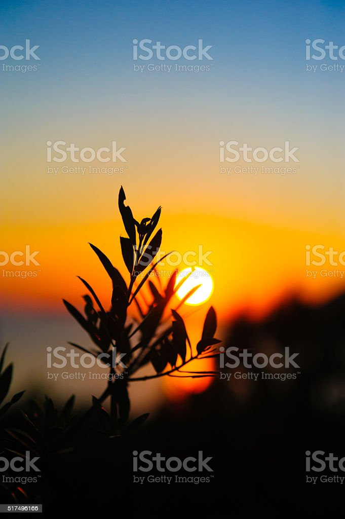 Olive tree against sunset stock photo