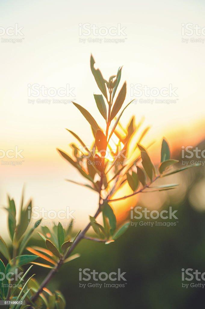 Olive tree against sunset stock photo