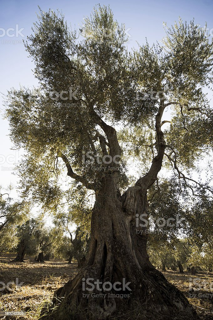 Olive tree against the sun stock photo