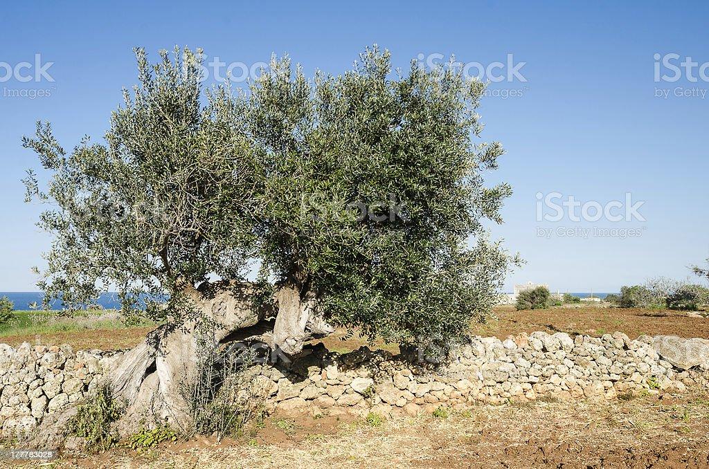 Olive Tree and Adriatic sea, Puglia, Italy royalty-free stock photo
