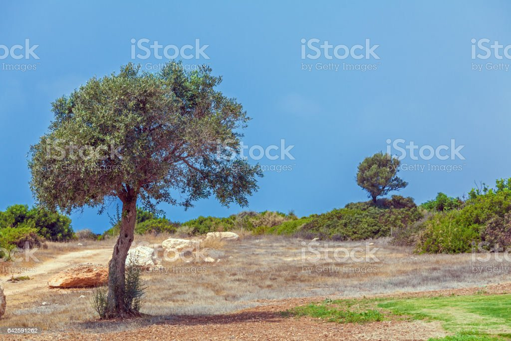 Olive Tree and Golf Field,  Paphos stock photo