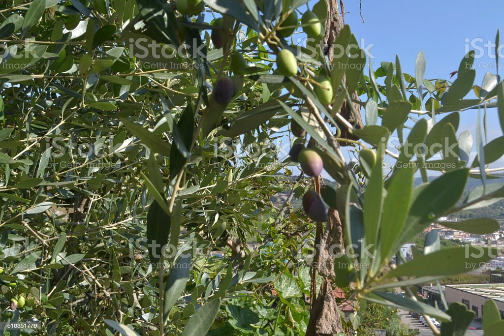 olive tree and its fruits stock photo