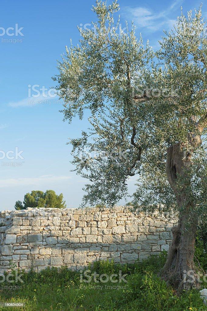 Olive tree, Apulia (Southern Italy) royalty-free stock photo