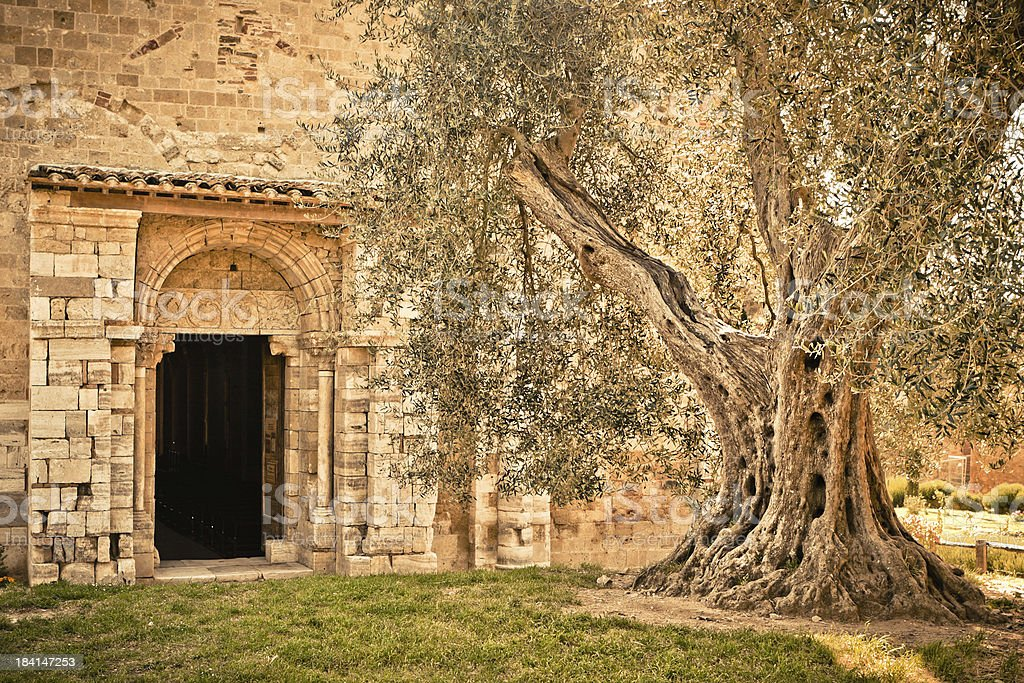 Olive Tree at Entrance of the Sant'Antimo Church, Tuscany royalty-free stock photo