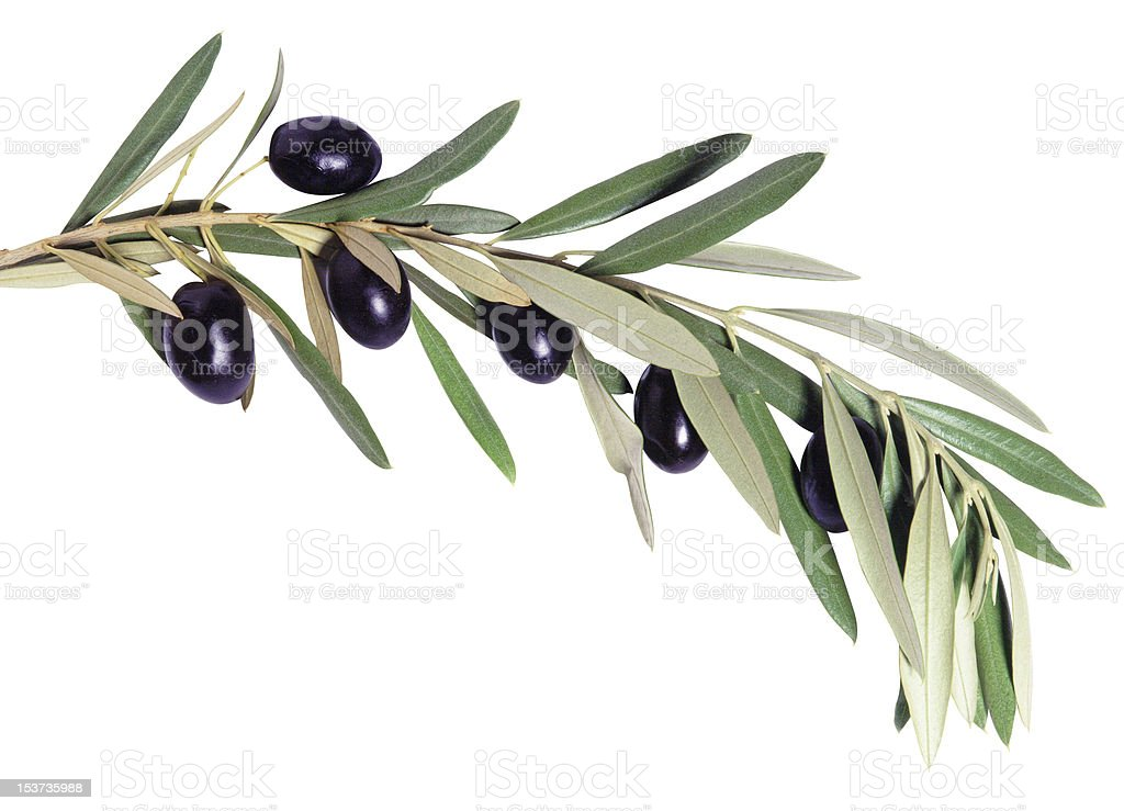 Olive tree branch stock photo