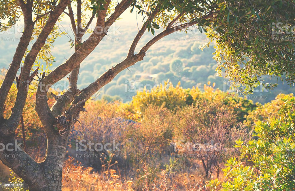 Olive tree by the wayside stock photo