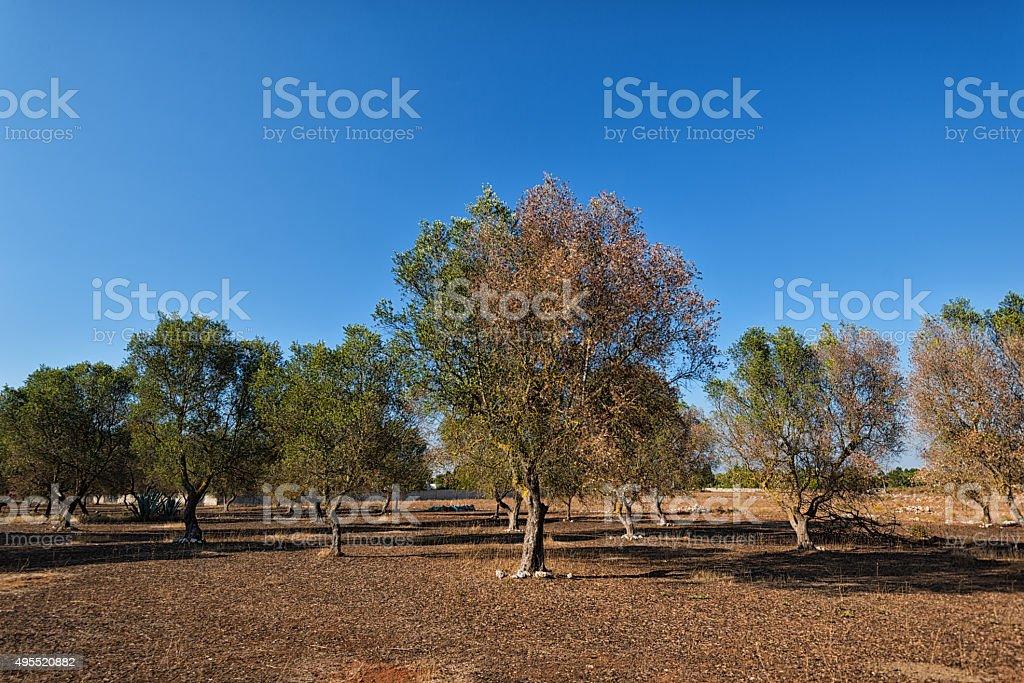 olive tree disease has hit south Italy, especially provincia Lecce stock photo