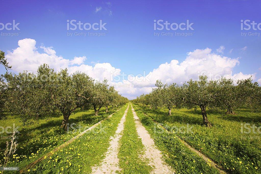 olive tree field royalty-free stock photo