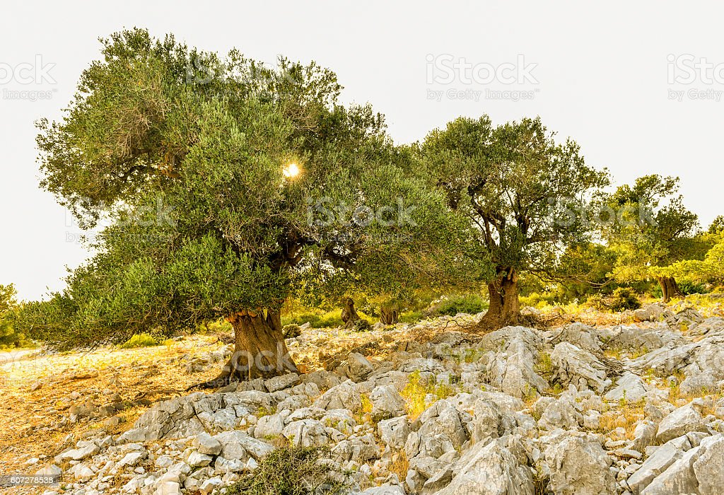 Olive tree garden in sunset or sunrise. stock photo
