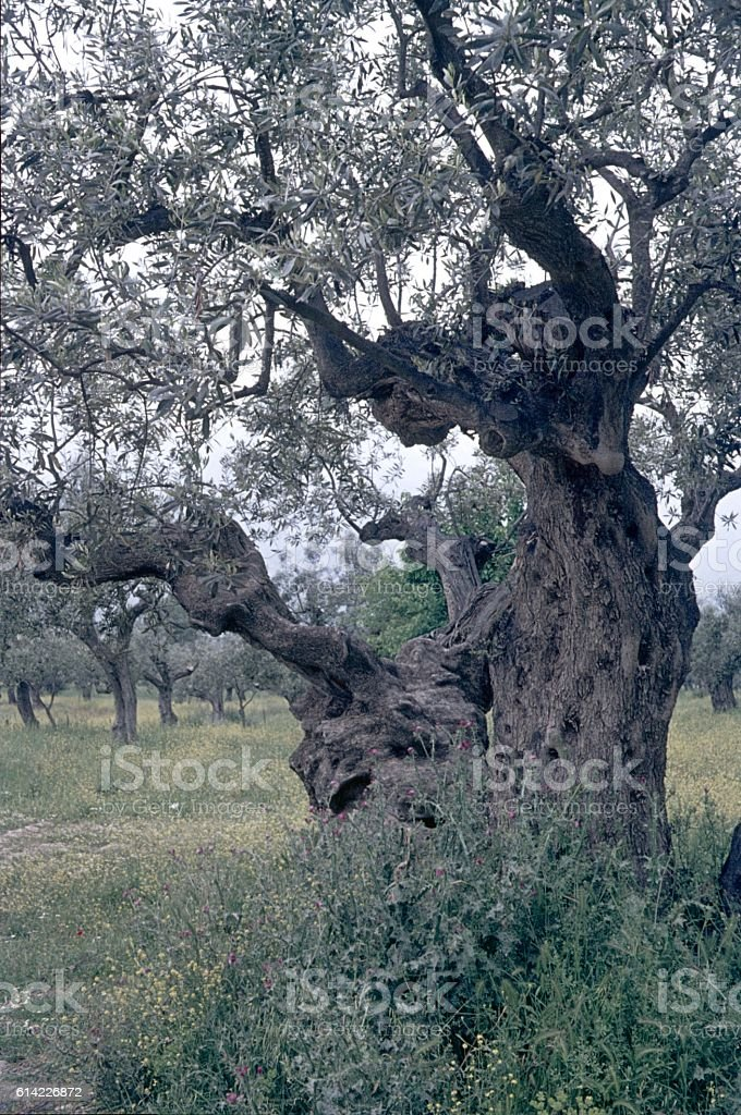 Olive tree, Greece stock photo