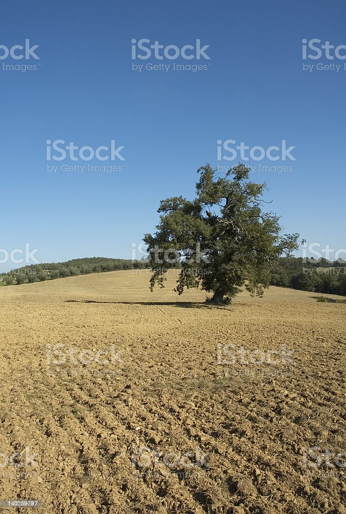 olive tree in a field - typical tuscan lanscape royalty-free stock photo