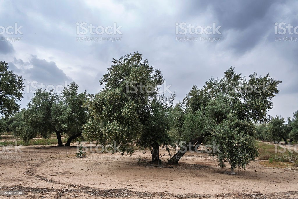 Olive tree in bloom during spring, Andalusia, Spain stock photo