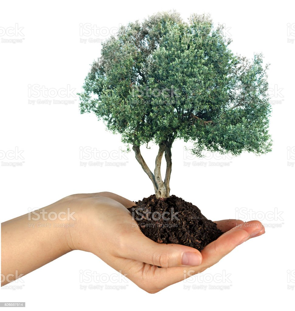 Olive tree in hand as a gift stock photo