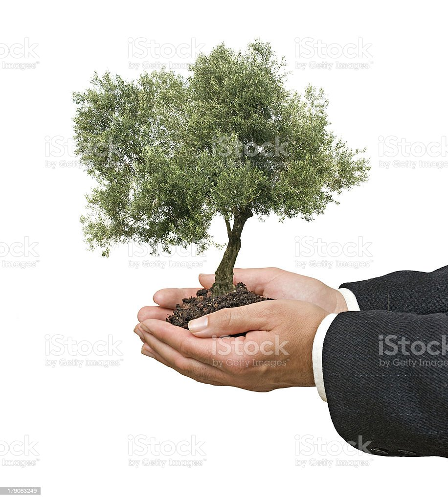 Olive tree in hands royalty-free stock photo