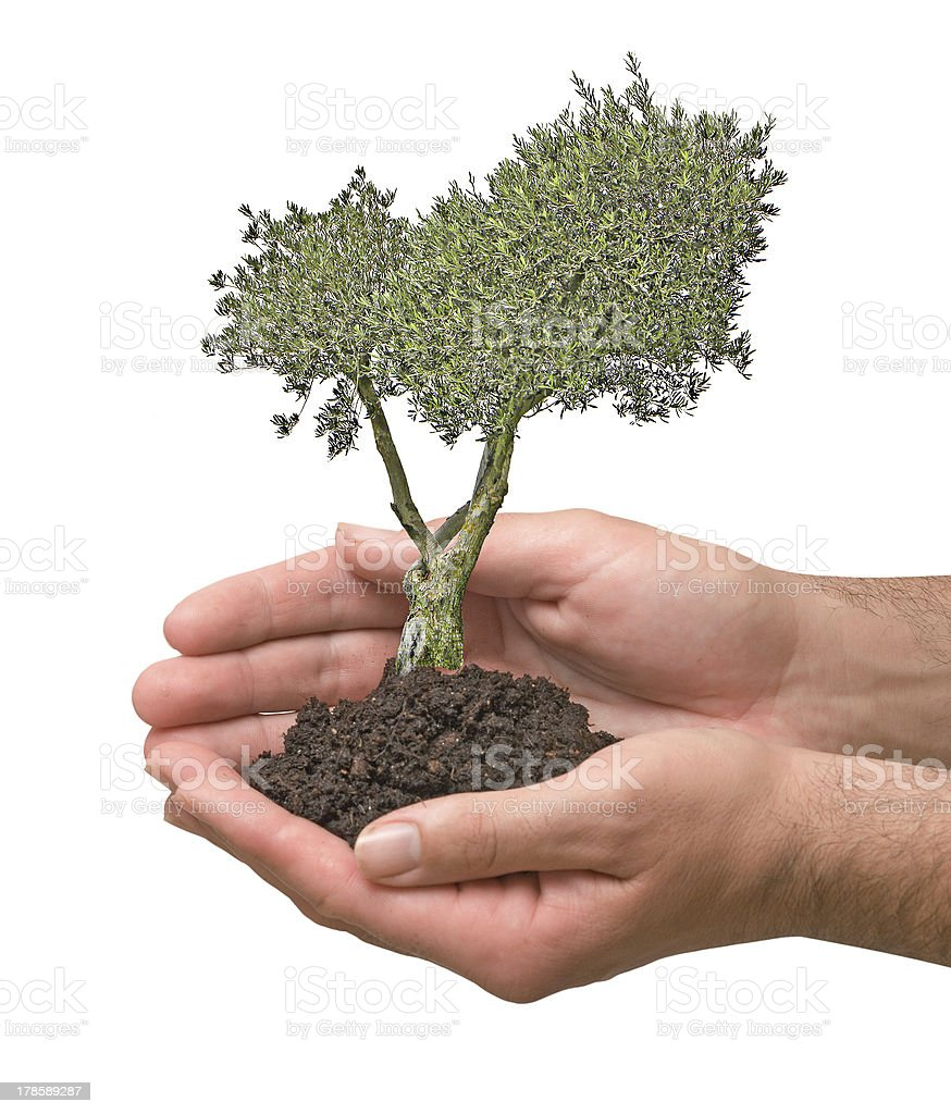 olive tree in palms as a symbol of nature protection royalty-free stock photo